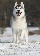 course de face d'un husky sibérien