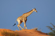 Giraffe on sand dune, South Africa
