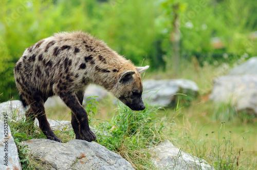 Papiers peints Hyène hyène tachetée