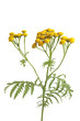Yellow flowering Common Tansy