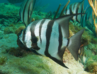 Atlantic Spadefish on a reef in south east Florida
