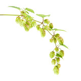 hops (Humulus lupulus) branch isolated on white background;