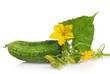 green cucumber with leaves and flower isolated on white