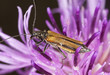 Oedemera femorata feeding on thistle.