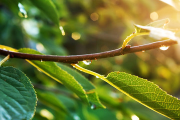 Branch with drop after rain