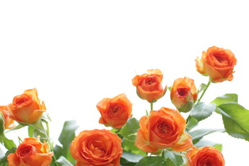 Beautiful orange roses for background
