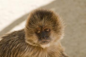 Capuchin weeper monkey Cebus Olivaceus