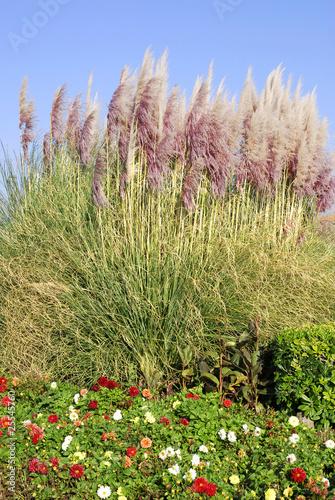 Fotobehang Dahlia Grandes herbes de la pampa avec des fleurs de dahlia