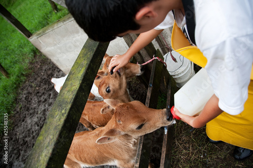 Young boy working on Costa Rican dairy farm feeding calf