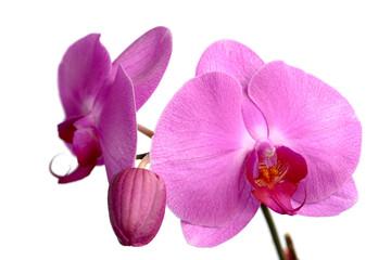 Pink Phalaenopsis, Orchidee
