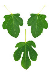 Fig leaf set - symbolic