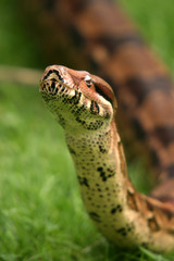 Boa constrictor snake, nature animal photo