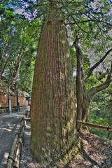高尾山の大木