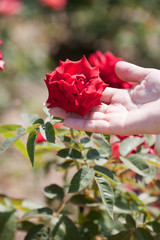 female hand holds a bright red rose