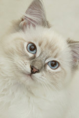 beautiful ragdoll in colour