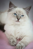 4 month old ragdoll kitten in colour