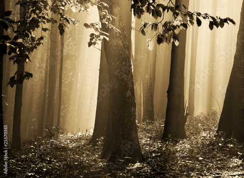 Fog in the gold forest