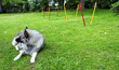 Hund Wolfsspitz Wiese