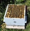 Population d'abeilles dans la ruche