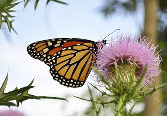 Monarch Butterfly on a burdock flower