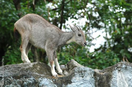 Papiers peints Antilope goral