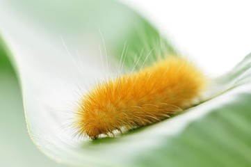 macro yellow caterpillar