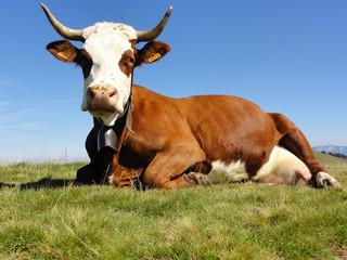 Vache abondance couchée