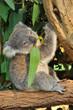 Koala joey eats eucalyptus leaf