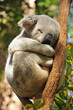 Koala sleeps on a tree