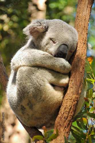 Poster Oceanië Koala sleeps on a tree