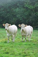 jeunes vaches dans un pré