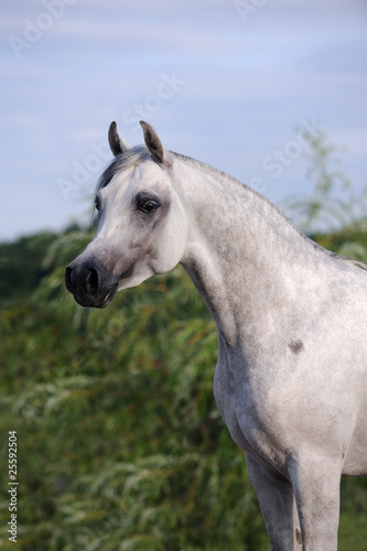 portrait of beautiful gray arabian horse