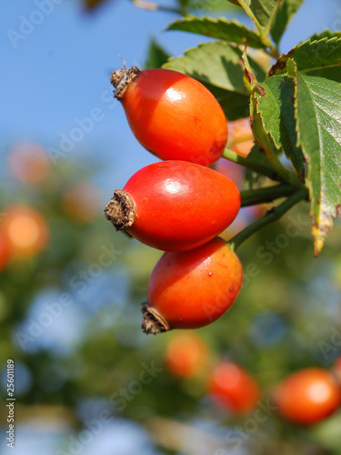 rose-hips on bush