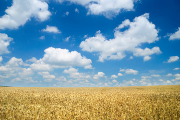 Wheaten field and the sky