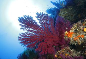 gorgonia rossa acquario