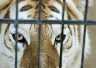 Caged Tiger