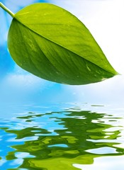 Fresh green leaf over blue background reflected in water