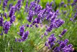 Fototapety Lavendel Lavandula angustifolia