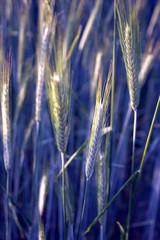 Blaues Kornfeld