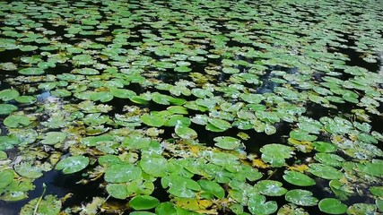 water lilies - lots of - waving