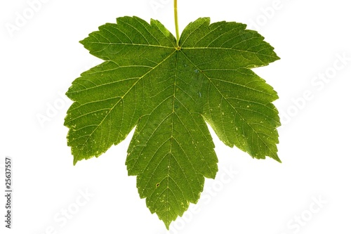 isolated leaf of Acer pseudoplatanus