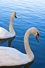 Two Swans on Blue River