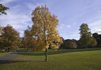 Yellow tree in  Golder Green park