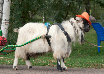 Goat in the hat