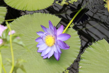 giant water lilly with purple flower