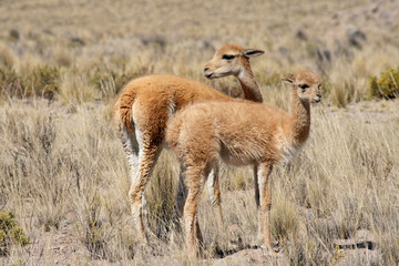 Vicunas on the pampas in Peru