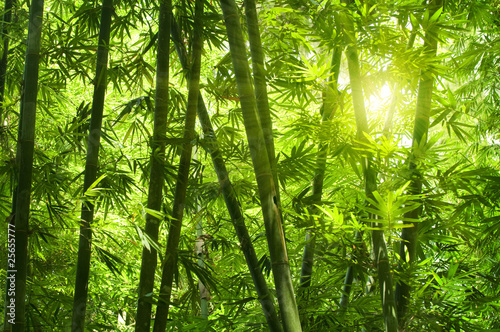 Bamboo forest. - 25655777