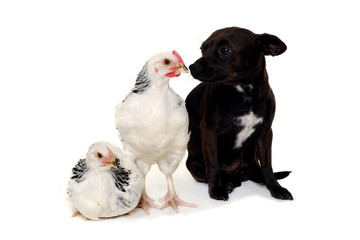 Puppy dog and chickens