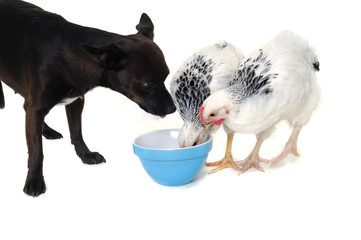 Puppy dog and chicken eating