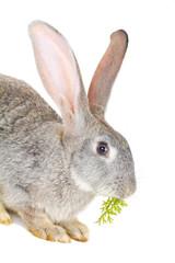 gray rabbit eating the carrot leaves